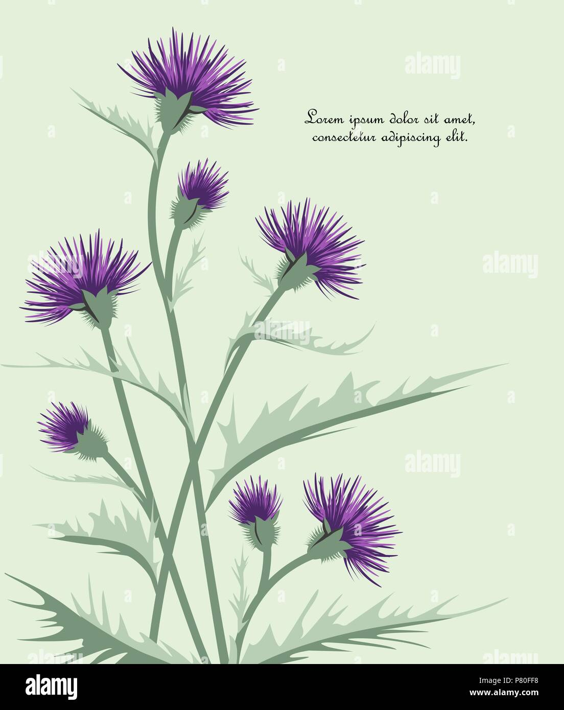 Vector Illustration thistle with leaves. Meadow flower - Stock Image