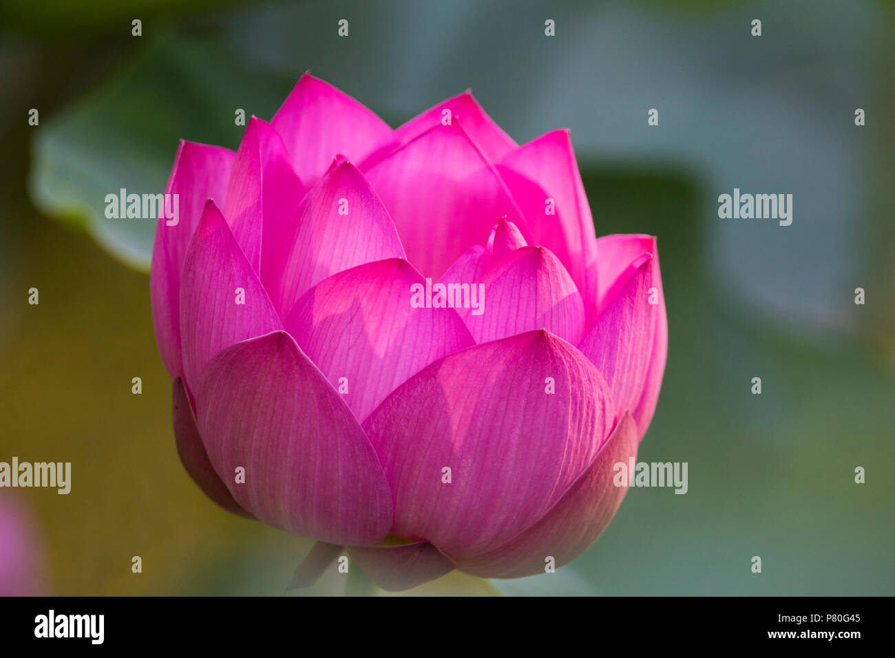 Indian lotus flower nelumbo nucifera stock photo 211454325 alamy indian lotus flower nelumbo nucifera mightylinksfo