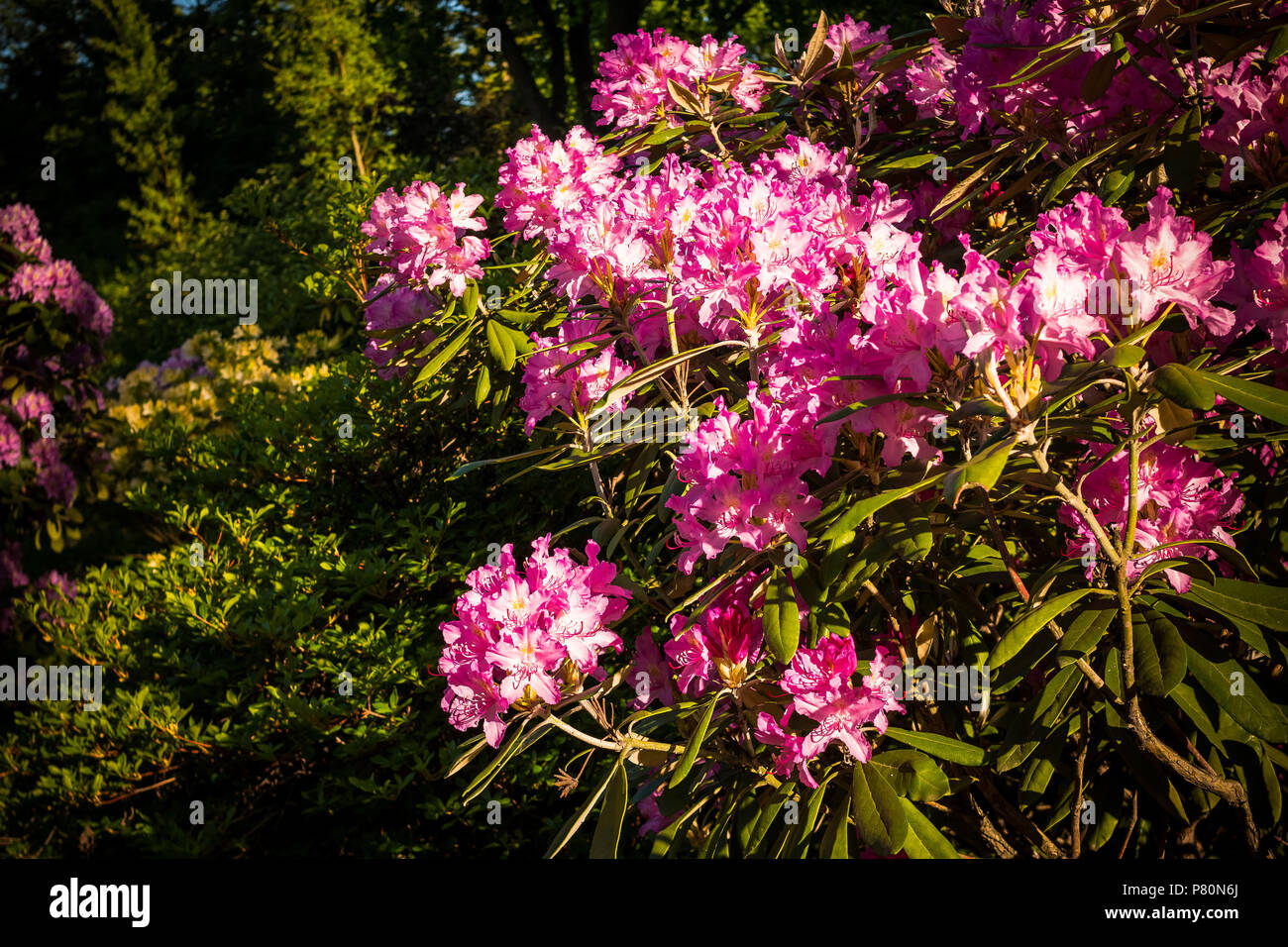 Rhododendrong Bush Of Pink Rhododendron In Garden With White