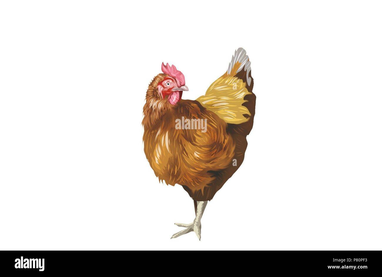 Chicken. - Stock Image
