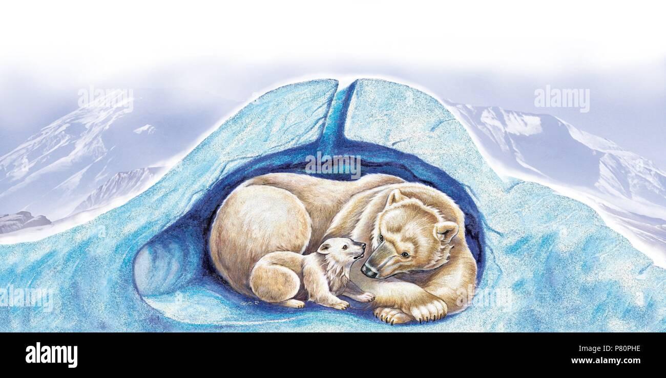 Hibernating bear and bear cub. - Stock Image