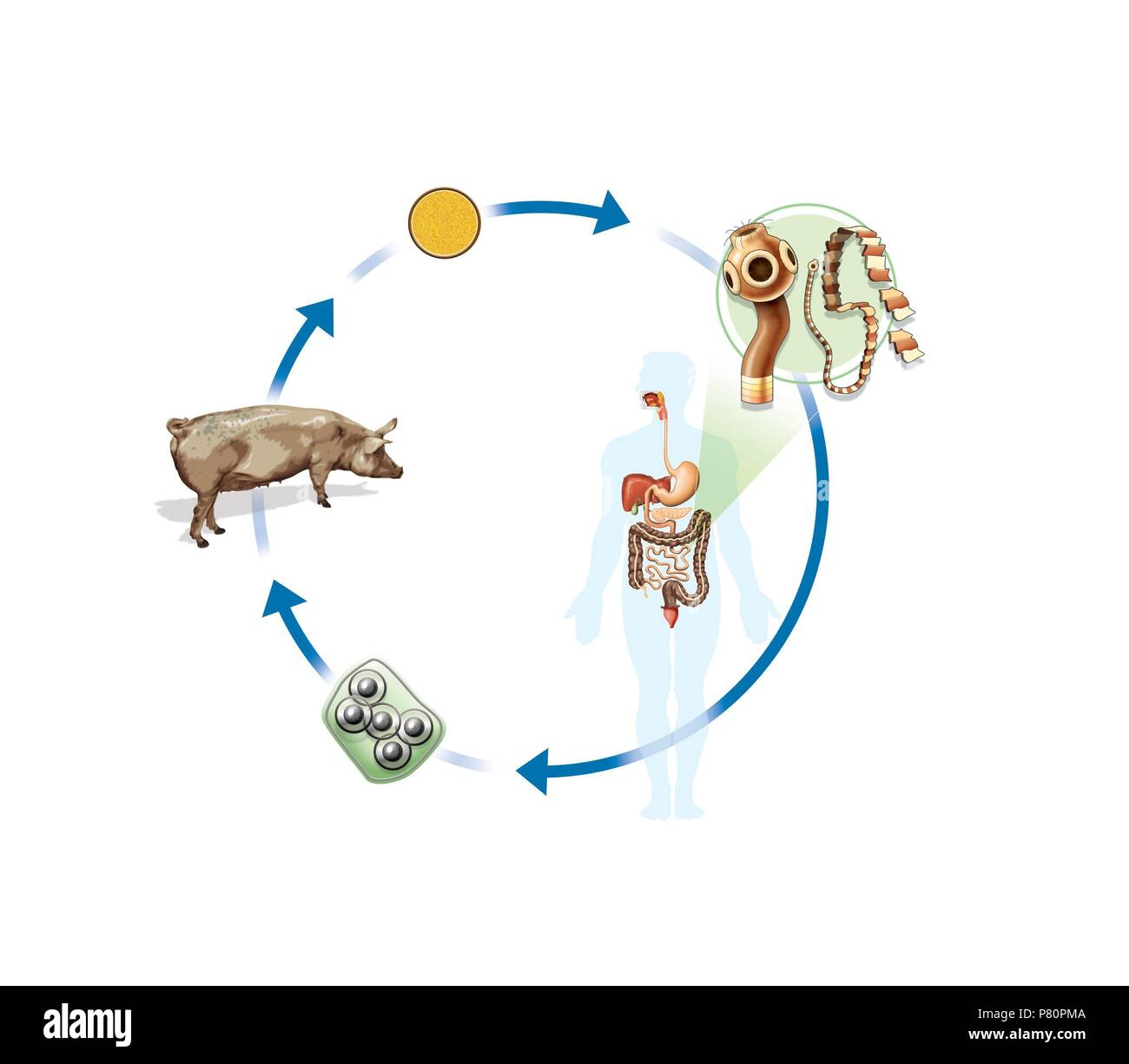 Life cycle of the tapeworm Stock Photo: 211459482 - Alamy