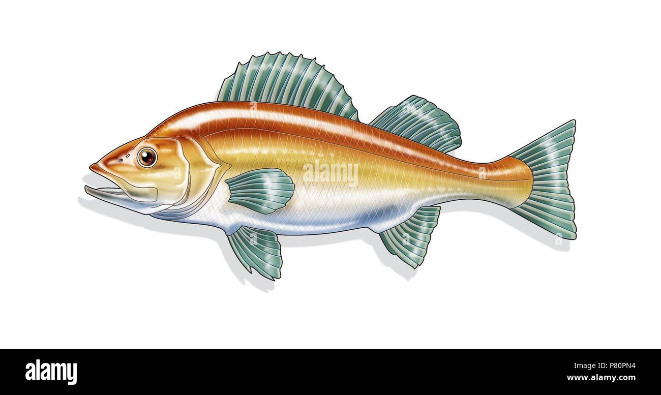 Teleost fish external anatomy Stock Photo: 211459504 - Alamy