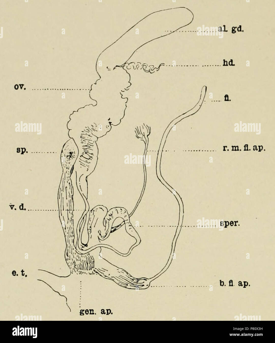 . English: Genitalia of Buliminus (Achatinelloides) socotorensis . English: An illustration of the genitalia of Buliminus (Achatinelloides) socotorensis, from The Natural History of Sokotra and Abd-el-Kuri. The key reads: hd., hermaphrodite duct; al.gd., albumen gland; ov., oviduct; sp., spermatheca; fl., flagellum; v.d., vas deferens; sper., spermatophore; b. fl. ap., base of flagellate appendix; r. m. fl. ap., retractor msucle of flagellate appendix; gen. ap., generative aperature; e. t., eye tentacle. 1903 170 Genitalia of Buliminus (Achatinelloides) socotorensis - Stock Image
