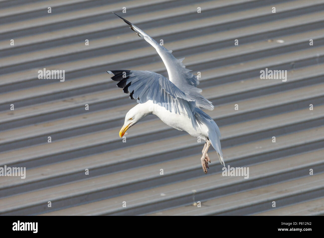 A Common Gull (Seagull) lands on the metal roof of an urban supermarket - Stock Image