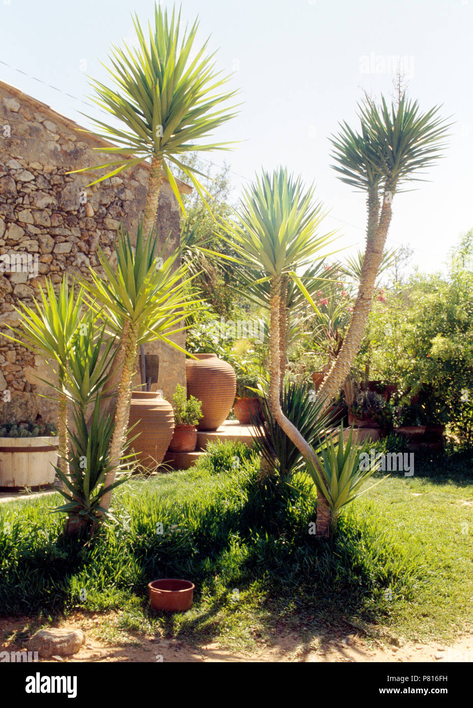Dracaena Trees Growing Beside Patio With Large Terracotta Pithoi Pots In  Garden In Portugal