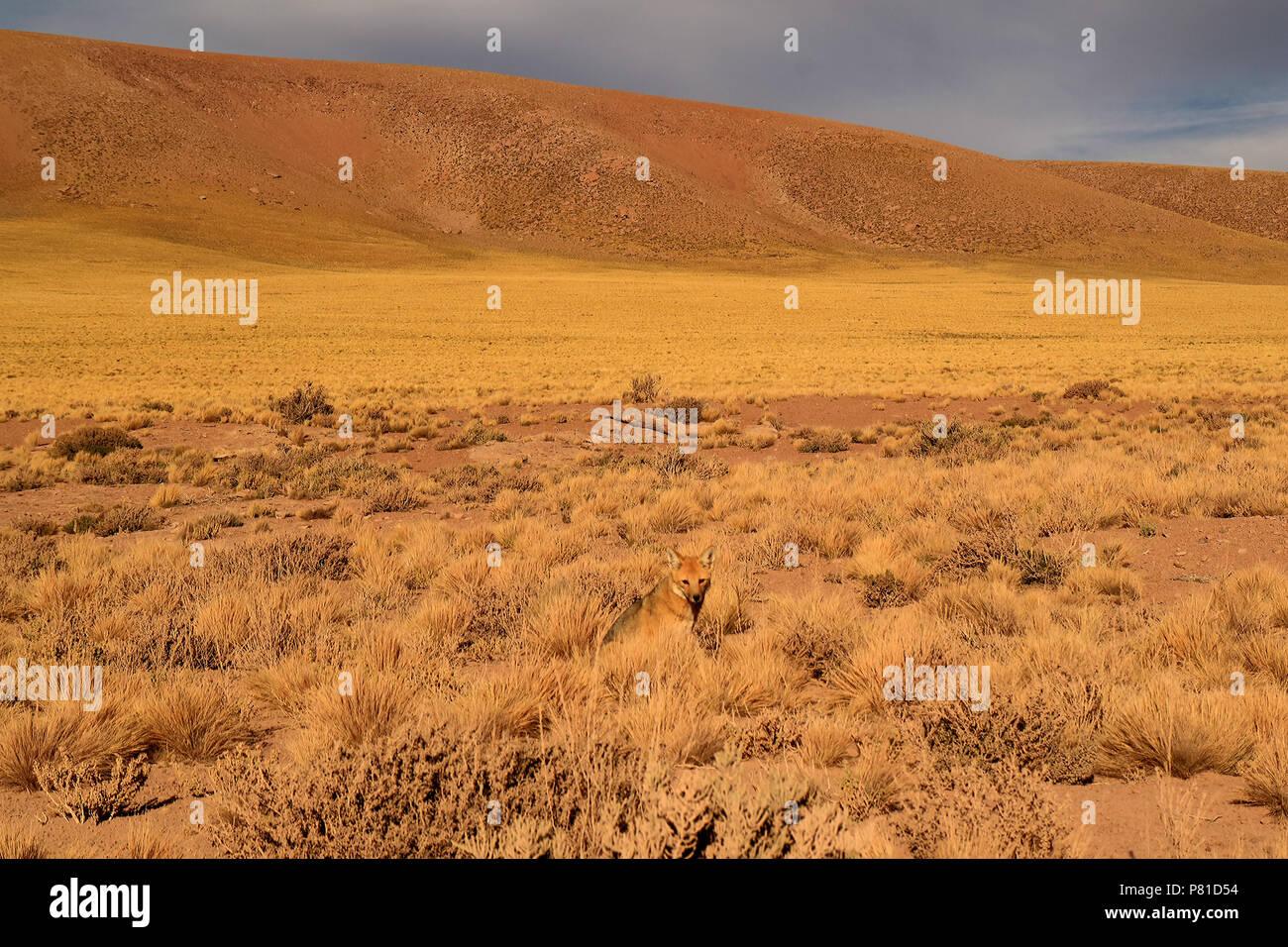 One Little Andean Fox Relaxing in the Desert Brush Field, Atacama Desert of Northern Chile - Stock Image