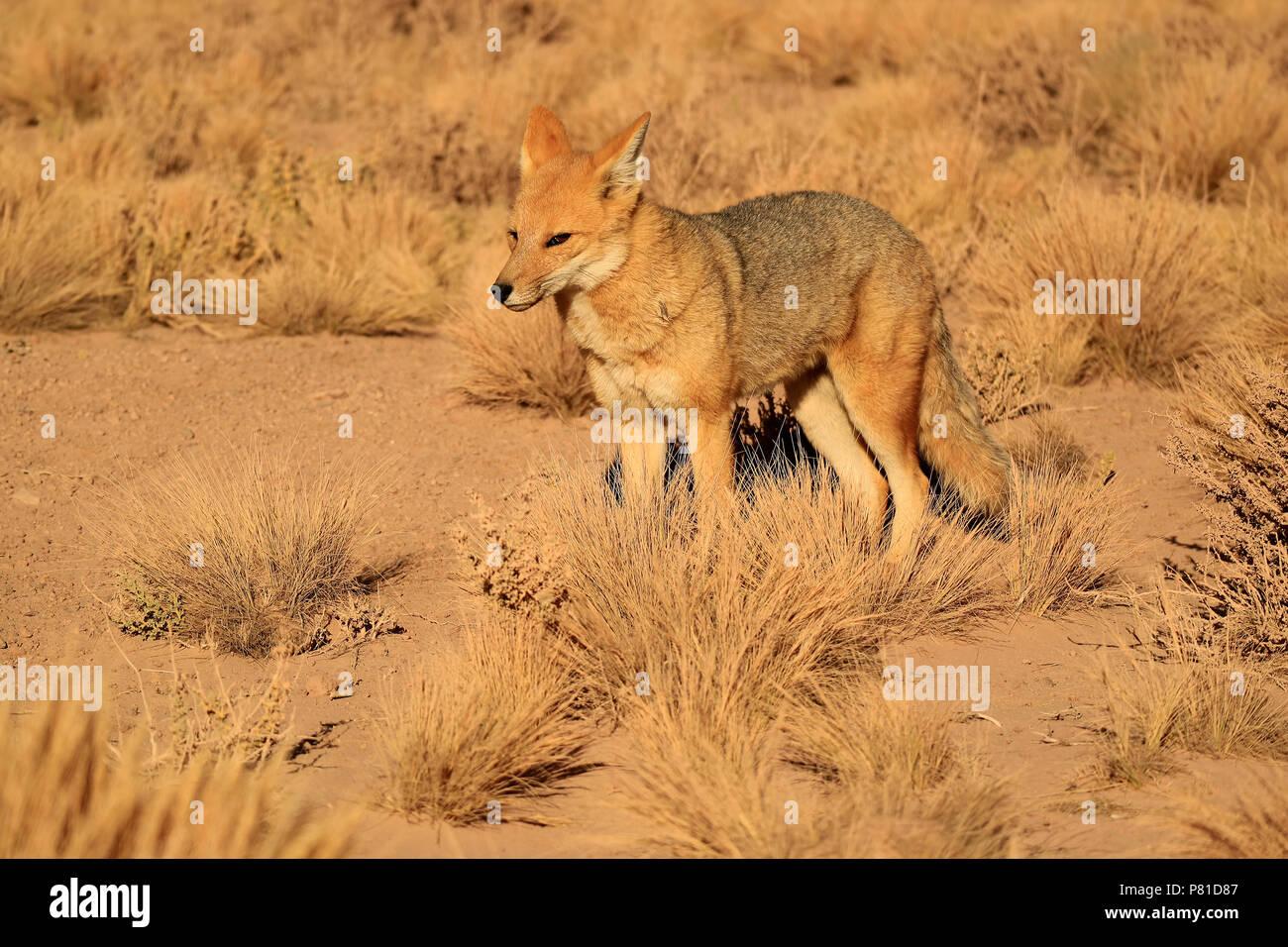 Andean Fox or Zorro Culpeo in the Desert Brush Field, Altiplano of Chile, South America - Stock Image