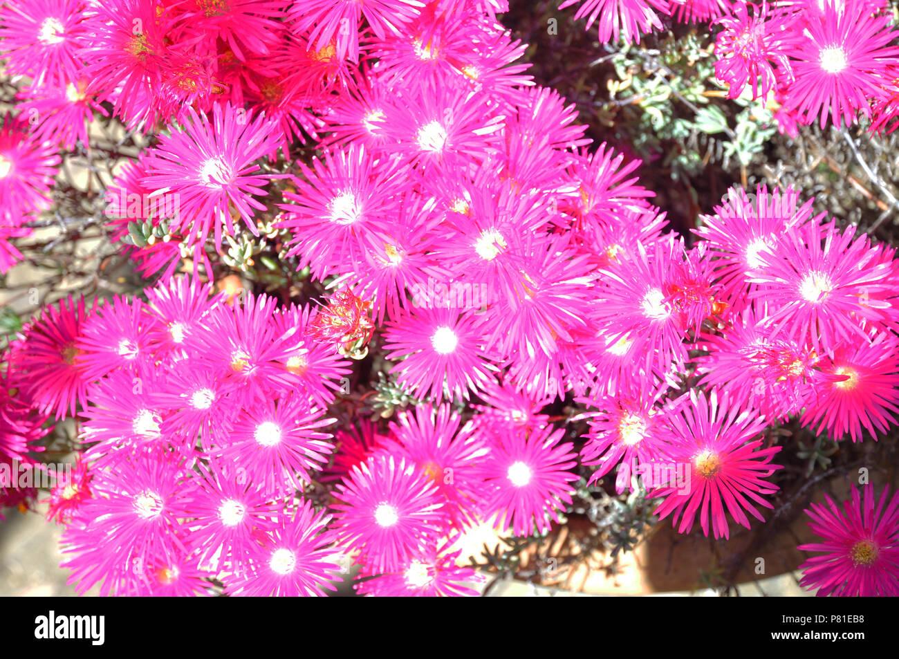 Shocking Pink Flowers Stock Photos Shocking Pink Flowers Stock