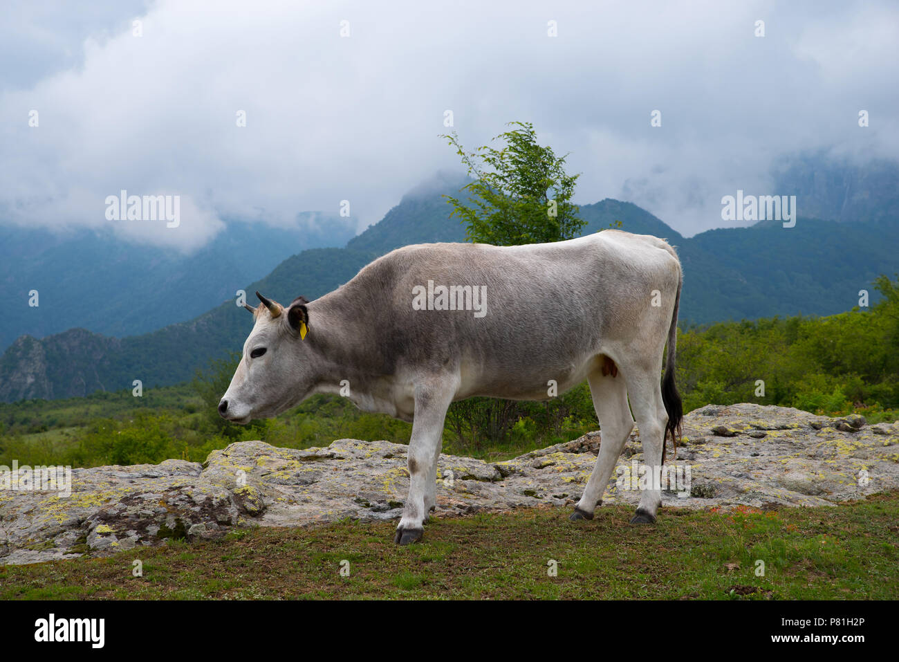 Primitive cattle breed. Bulgarian gray cattle. - Stock Image