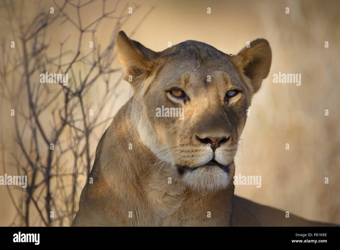 Silver Eye Lioness Portrait close up with an intimidating fierce looking lion - Stock Image