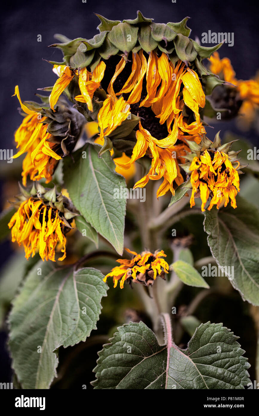 Dying Dried Sunflowers With Shriveled Yellow Petals And Green Leaves Wilted By The Sun And Lack Of Water In A Drought Stock Photo Alamy