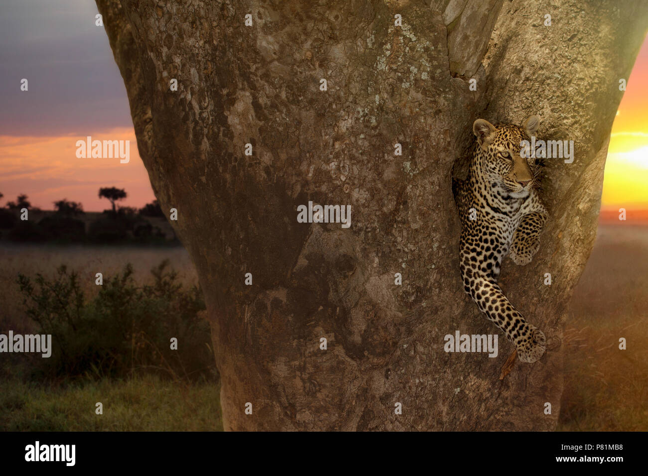 The most beautiful female leopard resting on a sausage tree during sunset in Kenya Stock Photo