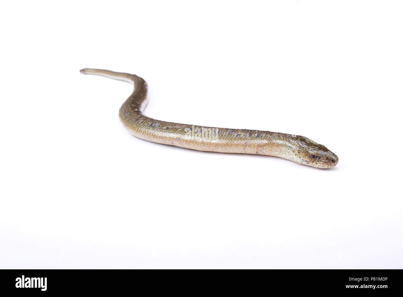 Eastern slow worm (Anguis fragilis colchicus) - Stock Image