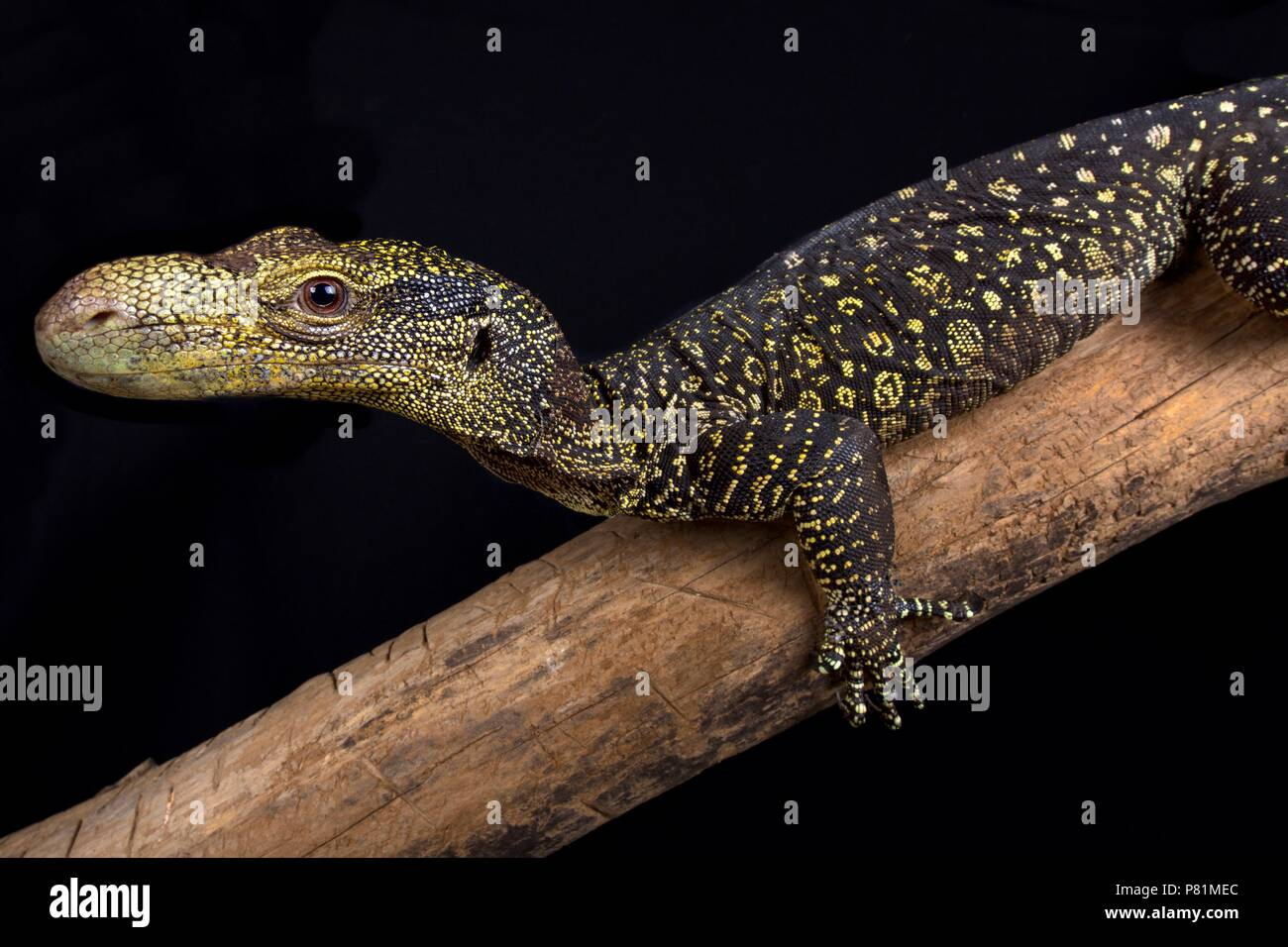 The Crocodile monitor (Varanus salvadorii) is the longest lizard species in the world. These tree dragons are endemic to Papua New Guinea and West Pap - Stock Image