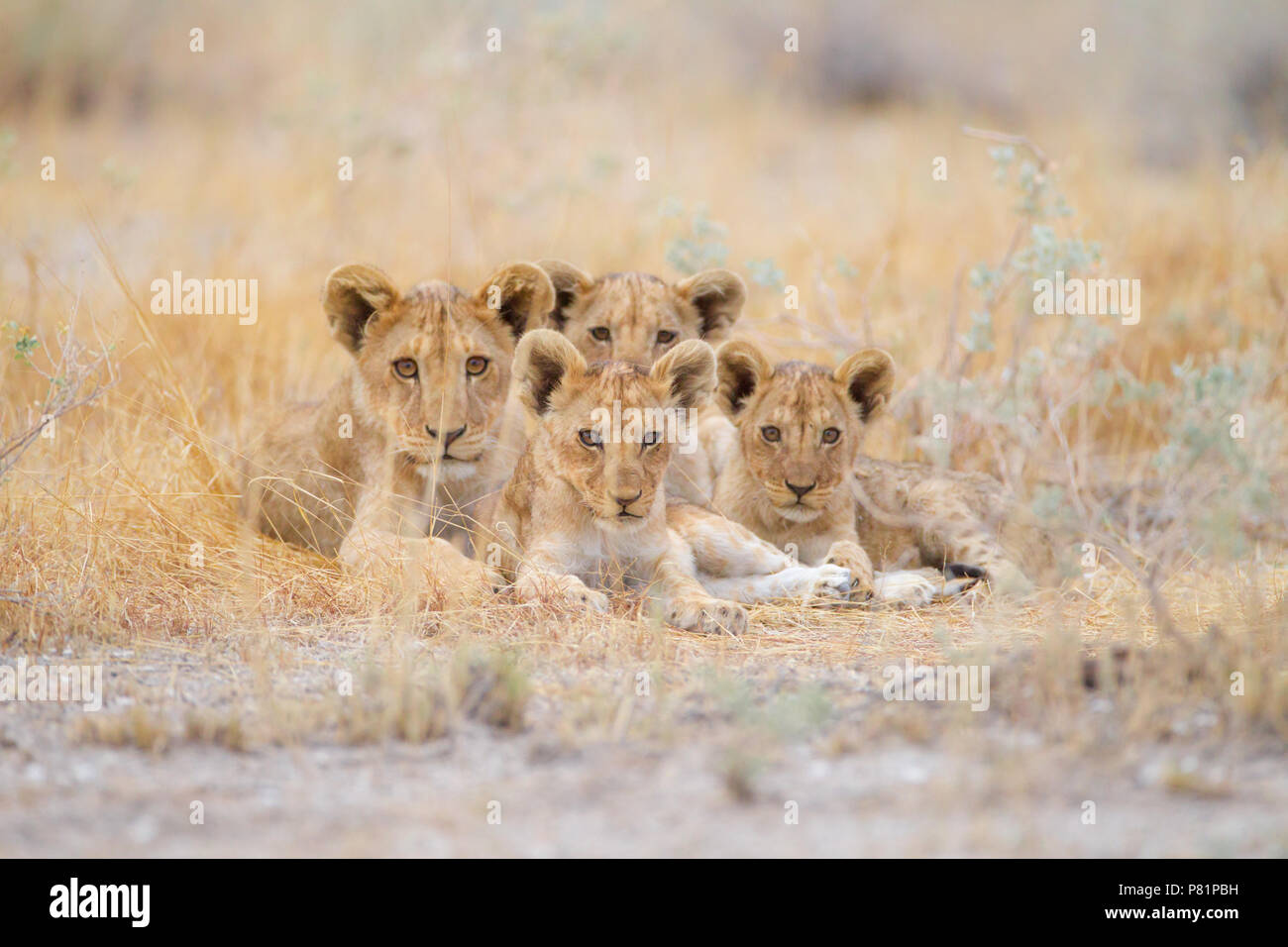 Cute lion cubs siblings in wilderness Etosha Stock Photo