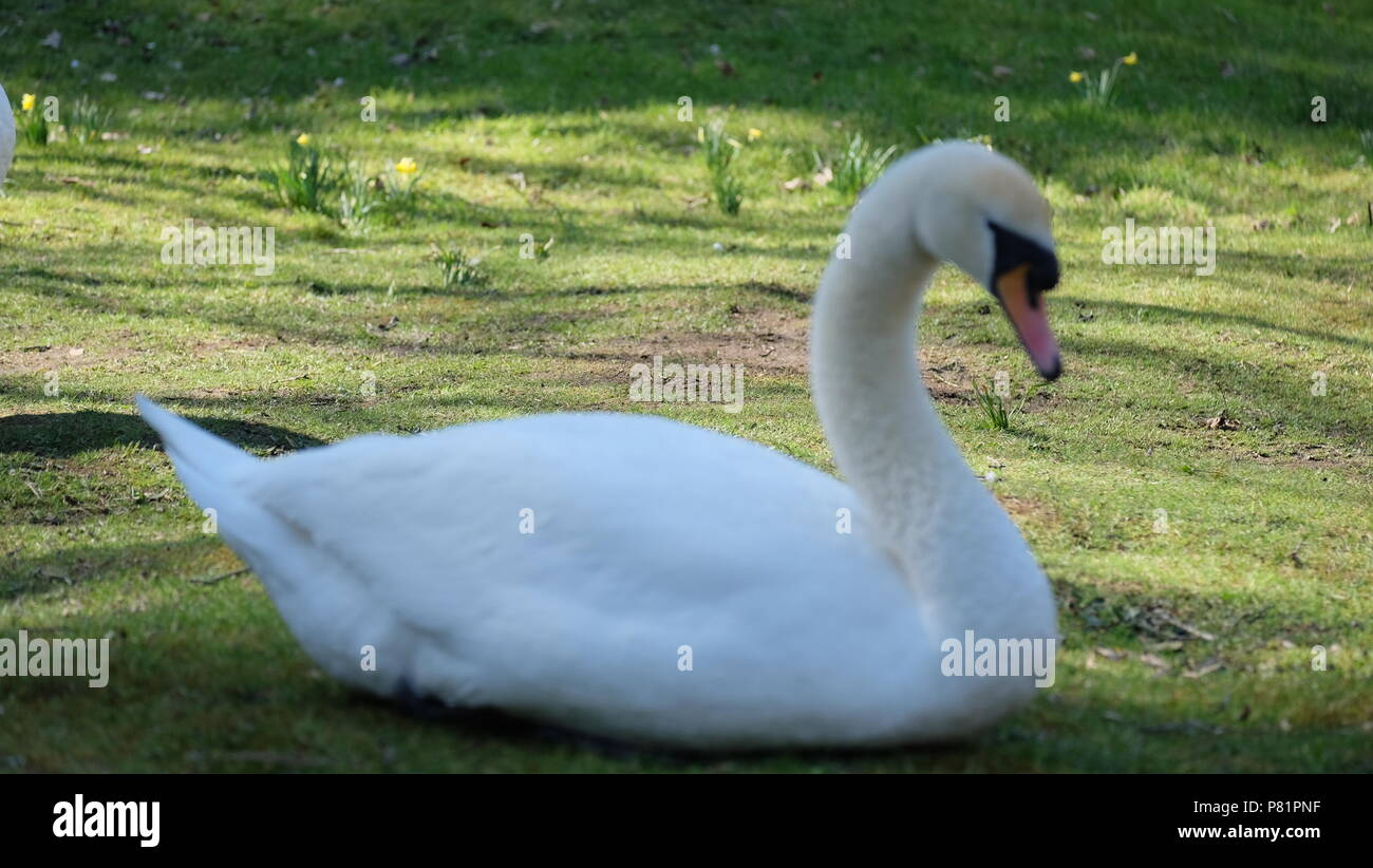 swan in the park - Stock Image