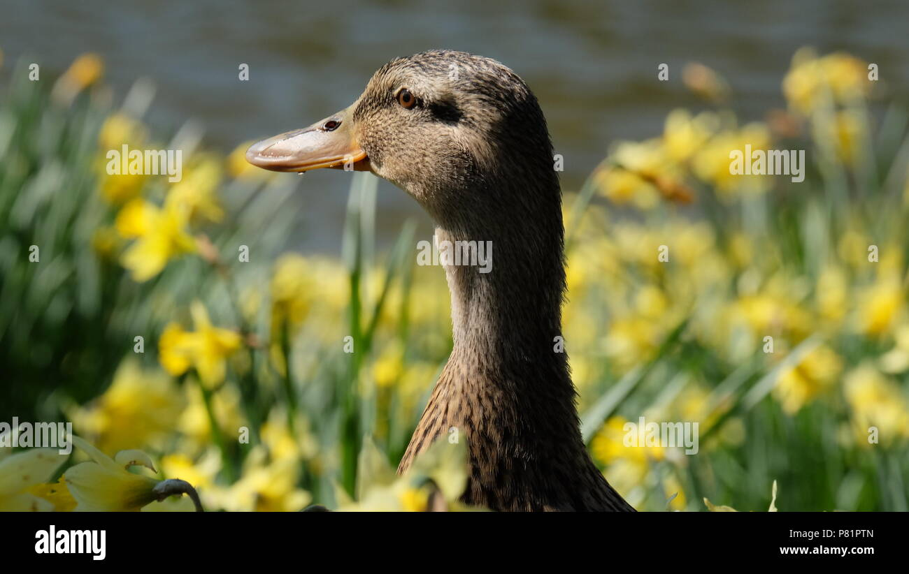 ducks in the park - Stock Image