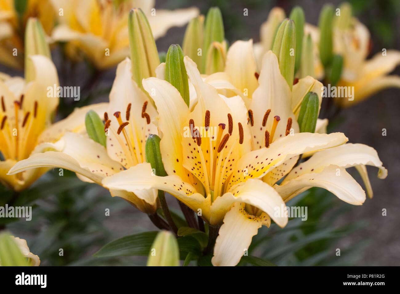 Lilium 'Freckled Joy' flowers. - Stock Image