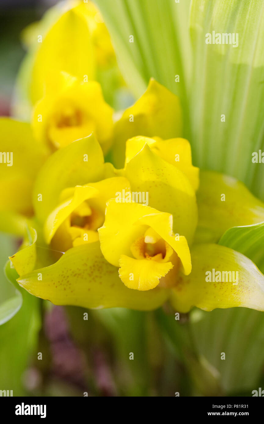 Lycaste 'Delphine' flowers growing in a protected environment. - Stock Image