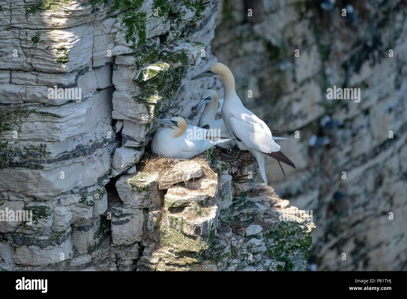 Gannets on cliff edge nesting - Stock Image