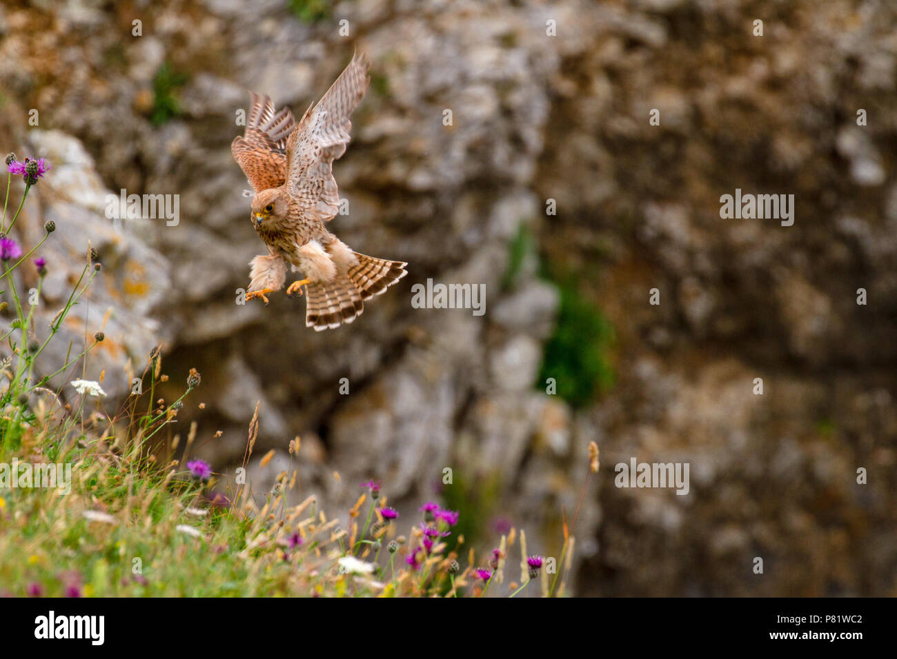 Eurasian Kestrel (Falco tinnunculus) on Pembrokeshire Cliff, Wales, UK - Stock Image