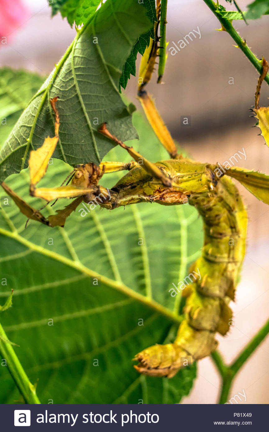 Big insect eating leaves of a tree - Stock Image