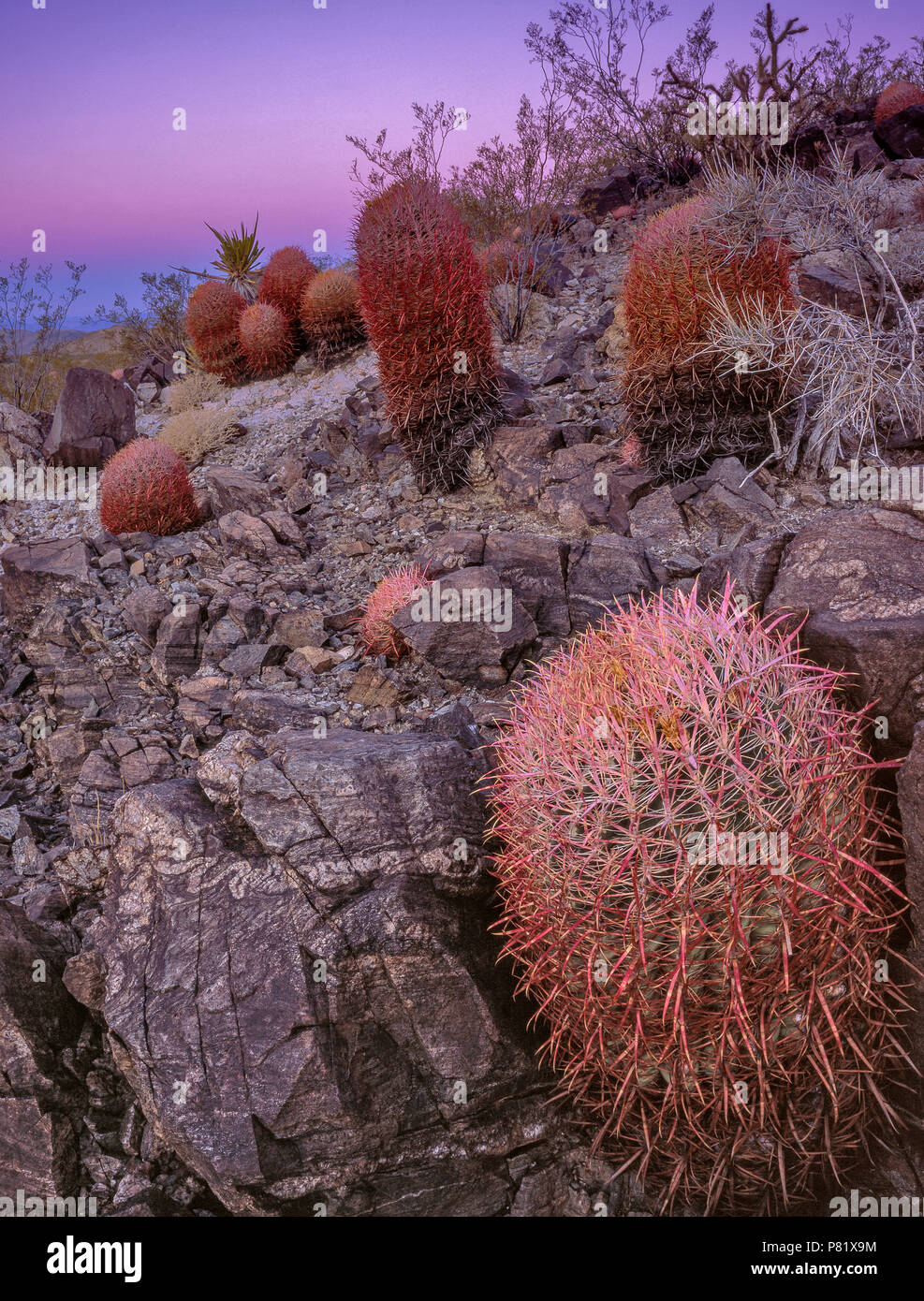 Dawn, Cottontops, Echinocactus polycephalus, Indian Springs, Mojave National Preserve, California - Stock Image
