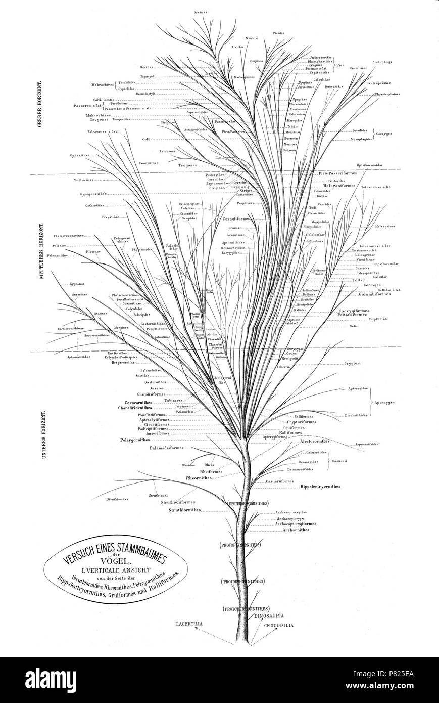 Phylogenetic tree of birds based on anatomy and morphology by Max ...
