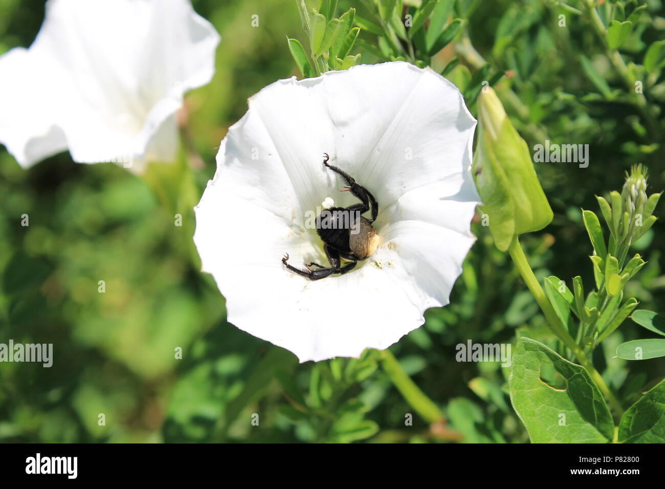 A honey bee makes the rounds with white flowers. - Stock Image