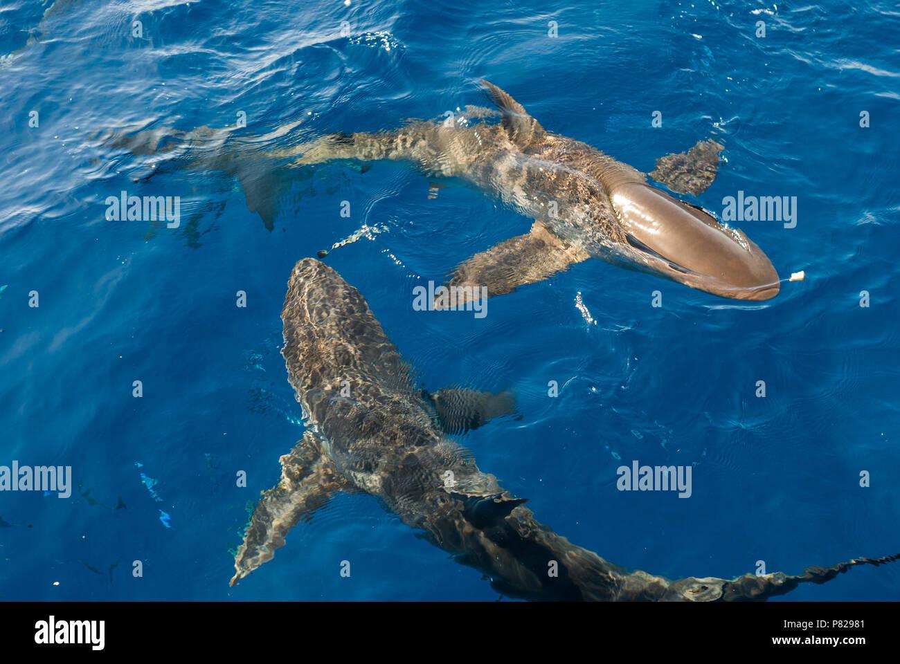 requiem shark, Carcharhinus falciformis, on the surface, Red Sea, Egypt - Stock Image