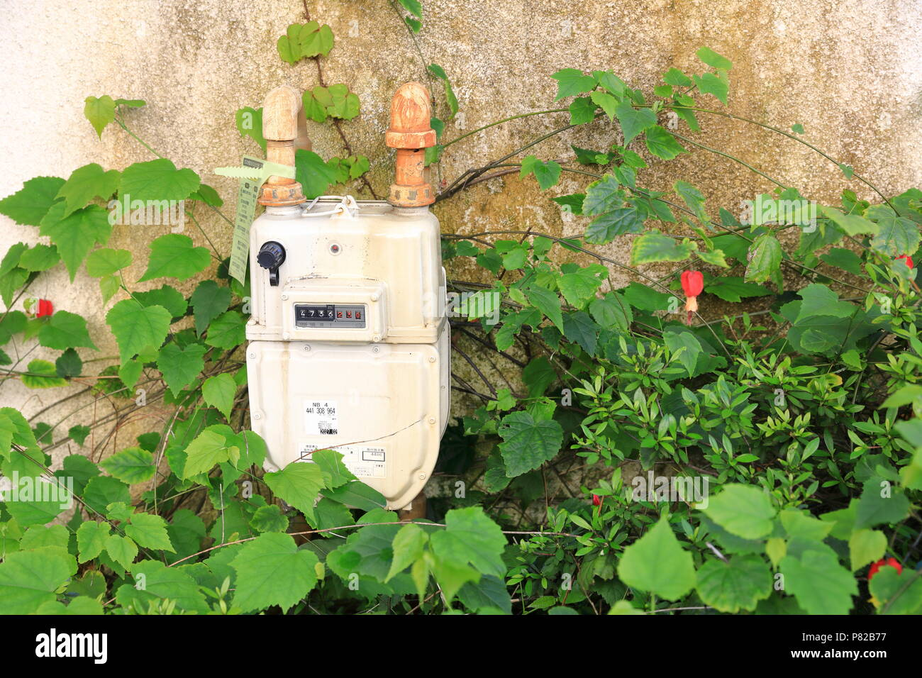 KAMAKURA JAPAN - MAY 2018 : Gas meter separate for private house, attach among beauty ivy, Meter Reading in Cubic meter. - Stock Image