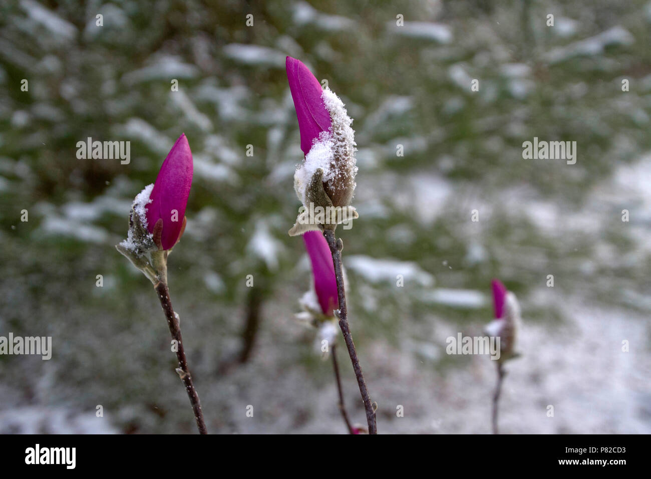 Brightly colorful, long stemmed flowers that are tightly furled and covered in snow in early spring Stock Photo