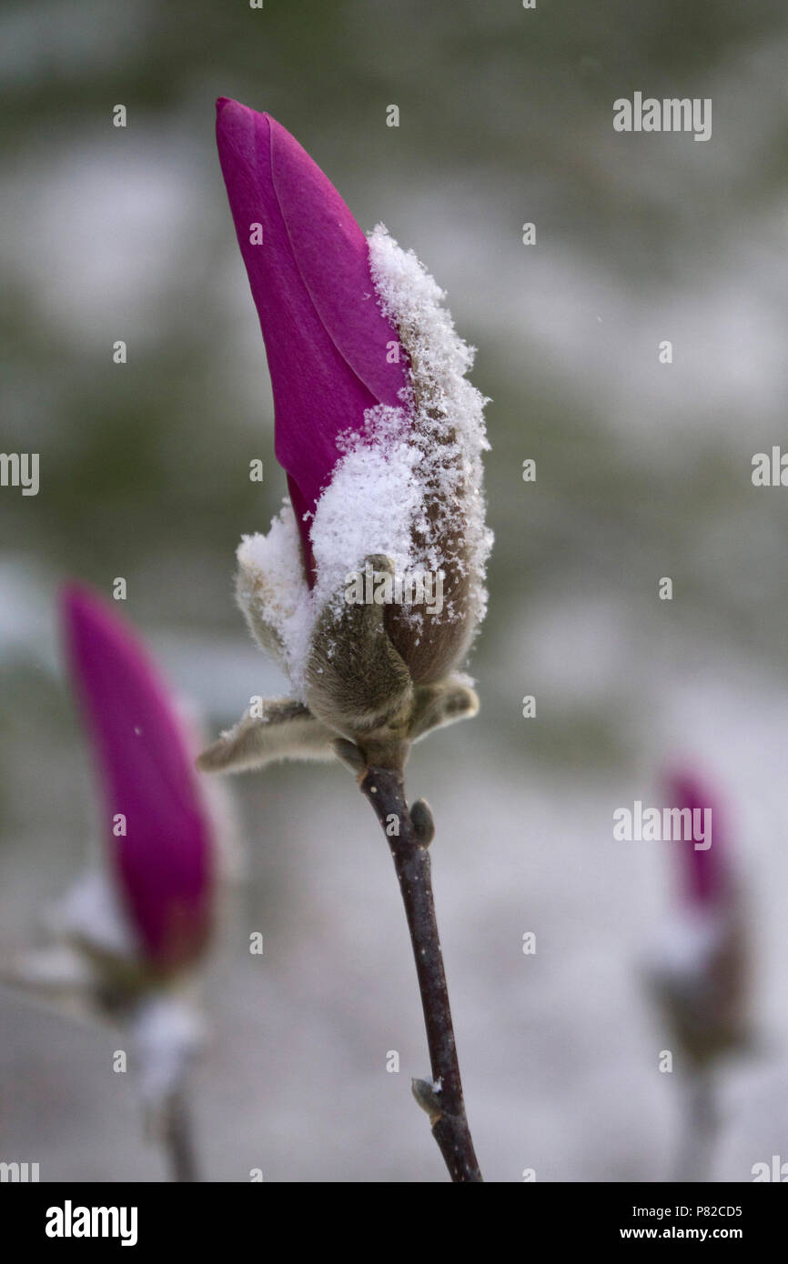 Long stems of colorful magenta, tightly furled flowers with bright magenta petals and softly haired buds covered in an early spring snow Stock Photo