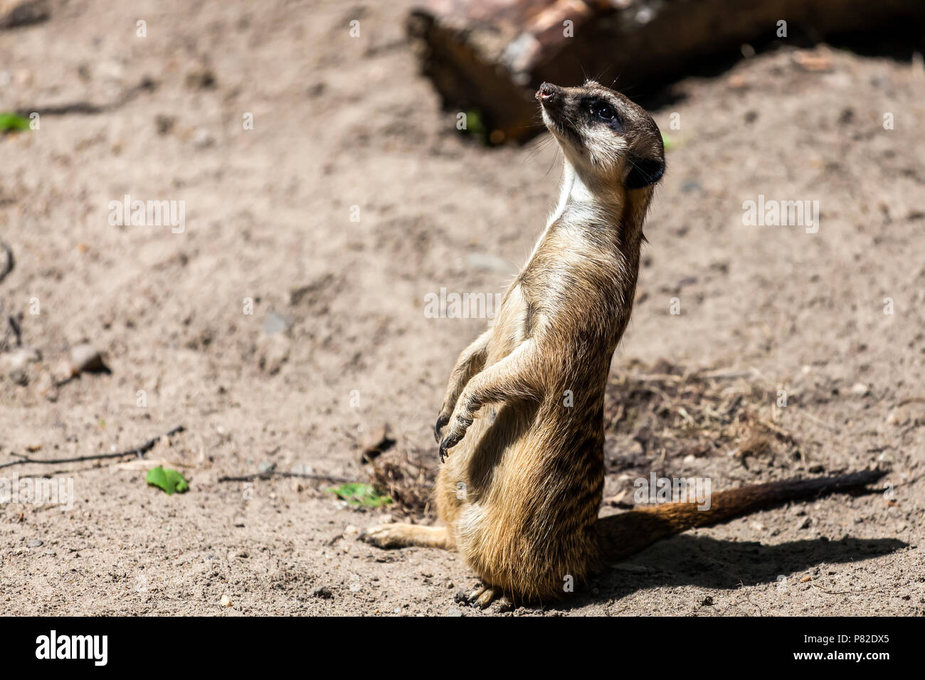 A Close Up Of The Adult Meerkat Monitors Its Territory And Birds