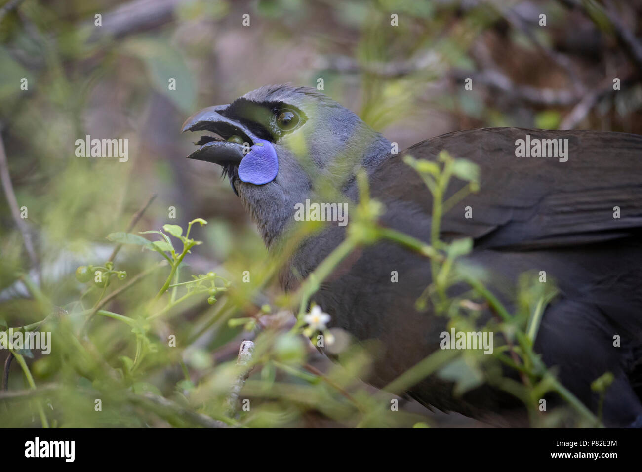 North Island Kōkako, New Zealand - Stock Image