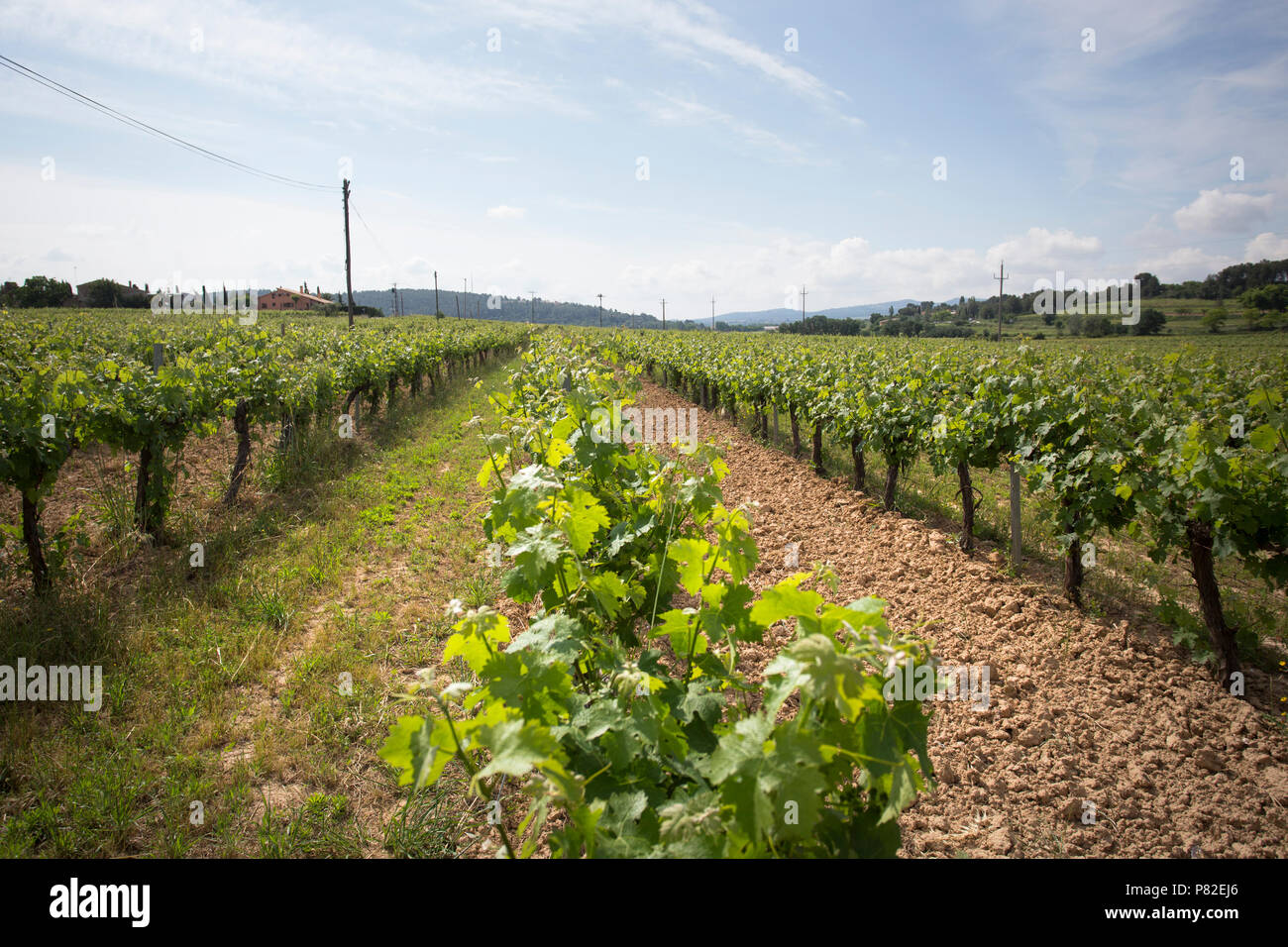 Valley with grape plants for varietal wines - Stock Image