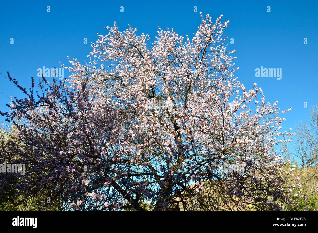 Almond blossom in the Atlas mountains in Morocco, almonds, nuts, trees, nature, desert landscape, hilly, almond oil, argan oil, sun, seasonal - Stock Image