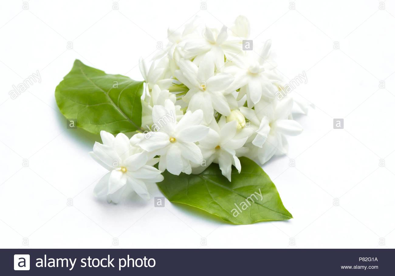 White Jasmine Flowers Fresh Flowers Natural Backgrounds Stock Photo
