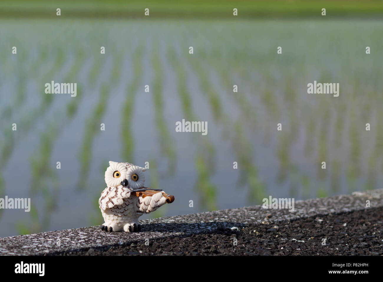 Mini white owl figurine playing the violin in a newly planted rice field background. - Stock Image