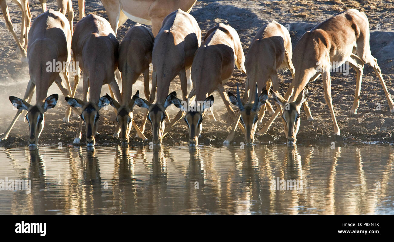 Impala groep drinkend Namibie, Black-faced Impala group drinking Namibia - Stock Image