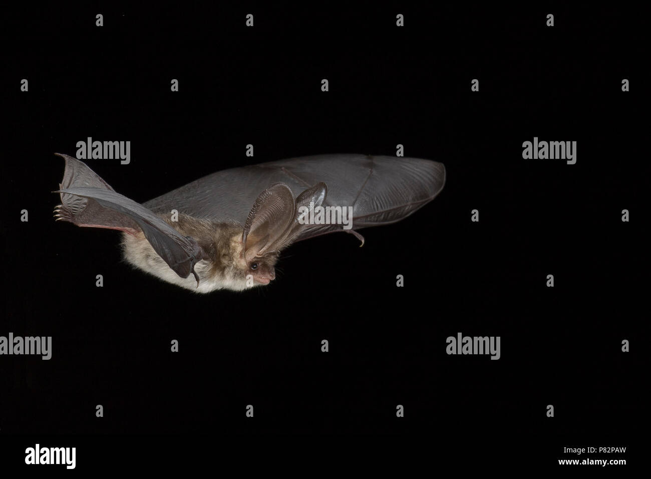 Grijze grootoorvleermuis vliegend; Grey long-eared bat flying - Stock Image