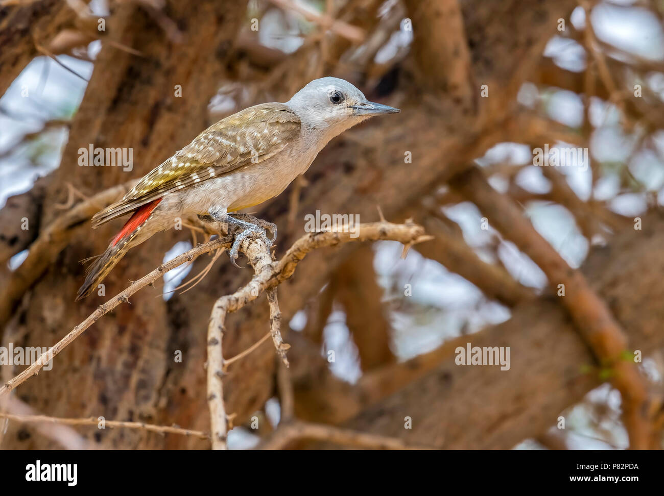 Female African Grey Woodpecker perched on a tree around 20km north-east of Ouadane, Adar, Mauritania, inside WP. April 07, 2018. Stock Photo