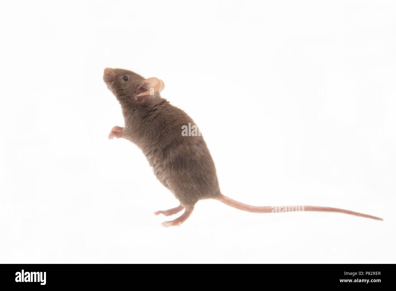 Huismuis, House Mouse, Mus musculus Stock Photo
