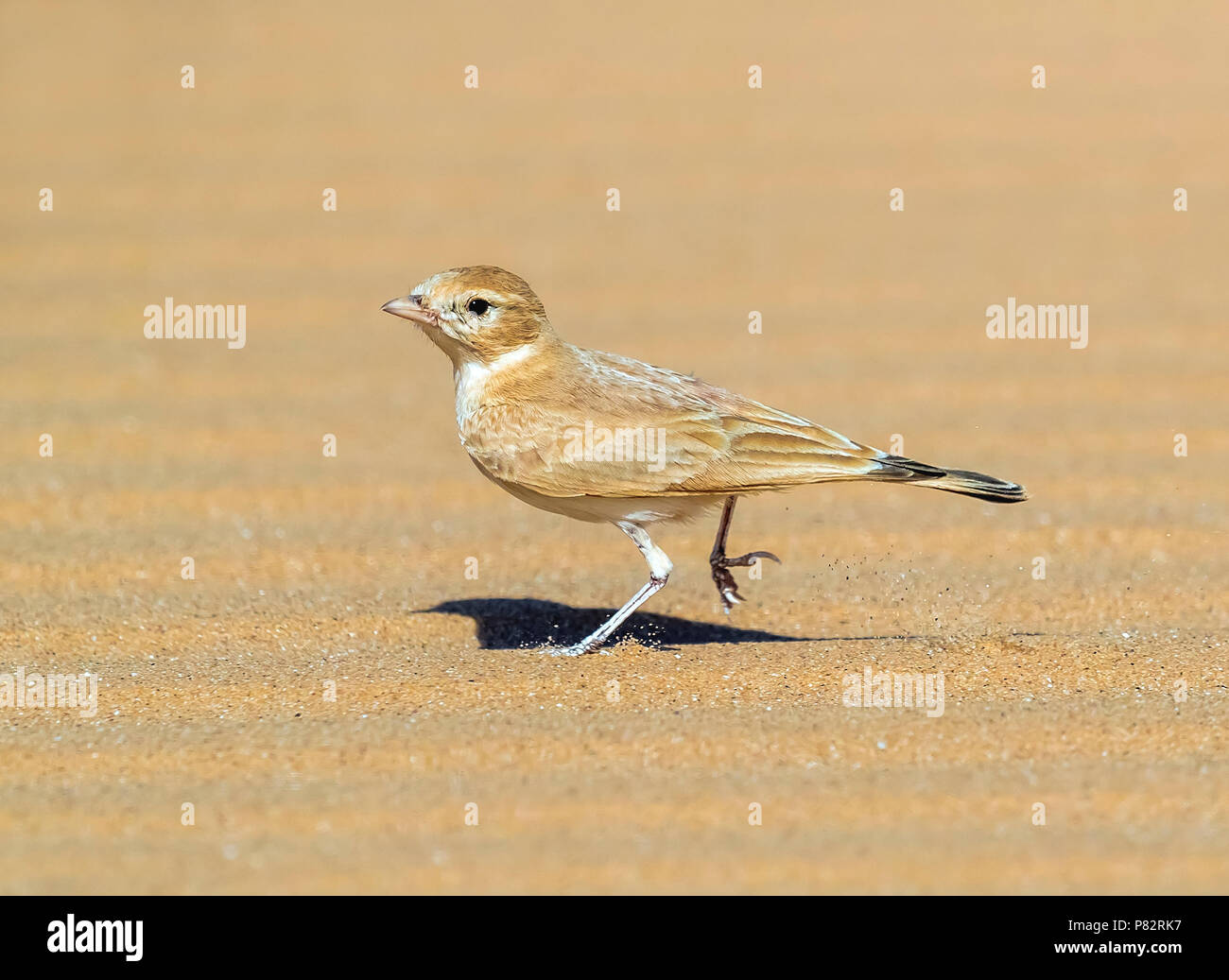 Adult Bar-tailed Lark running in desert aroud 40km West of Choum, Mauritania. April 04, 2018. - Stock Image