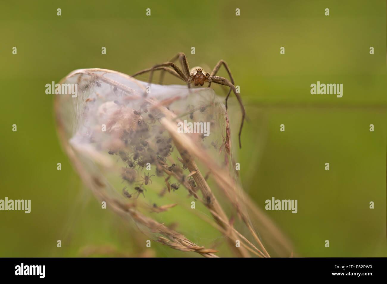 Kraamwebspin op haar kraamweb; Nursery Web Spider on her nursery web - Stock Image