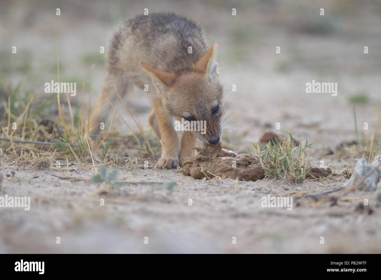 Black backed jackal whelp pup feeding with regurgitated food regurgitation - Stock Image