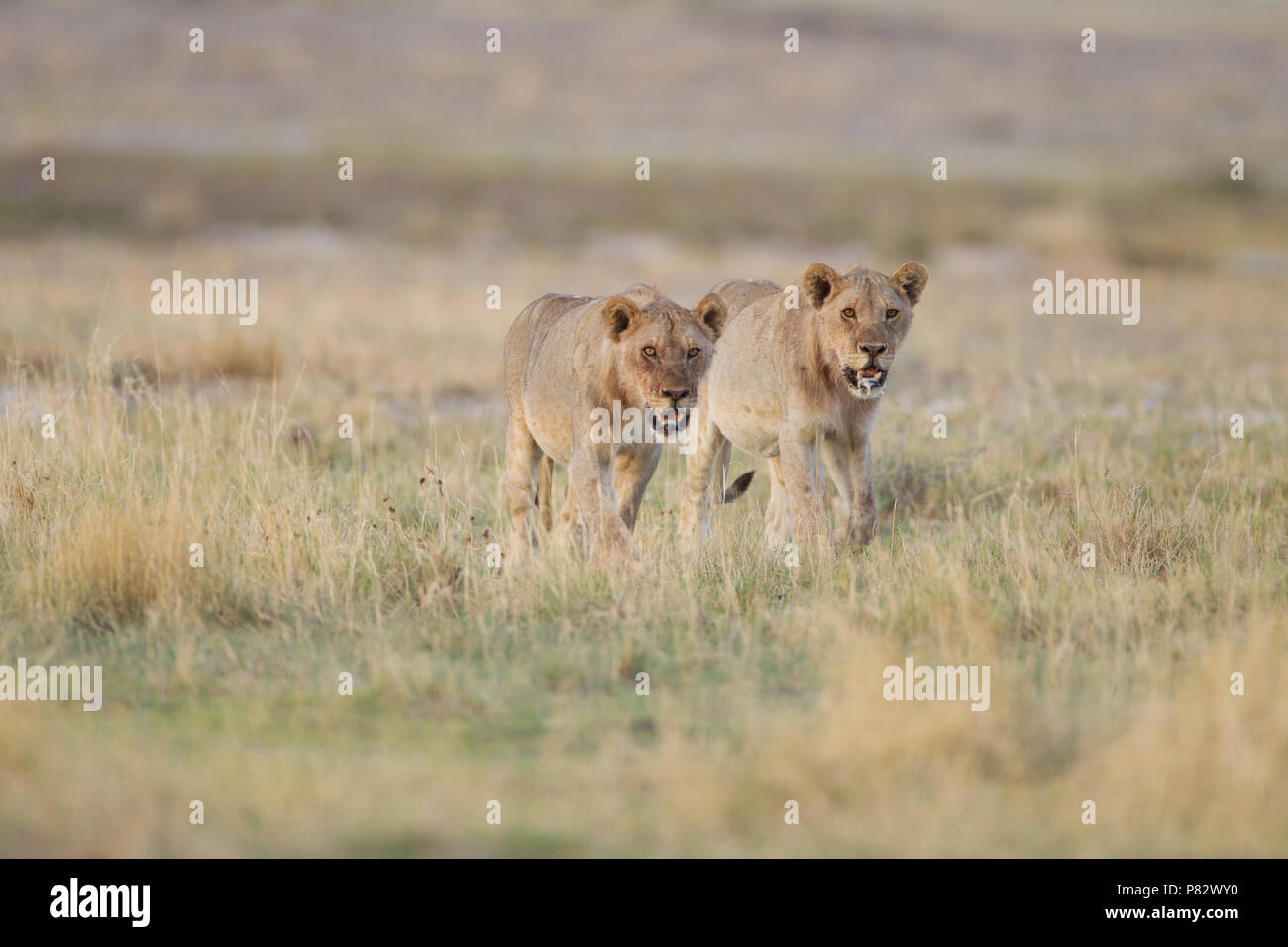Two juvenile desert Kalahari lions patrolling the area - Stock Image