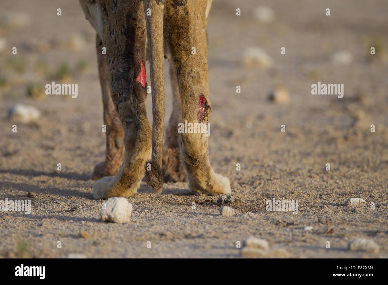 Sick lion with skin peeled off Etosha - Stock Image