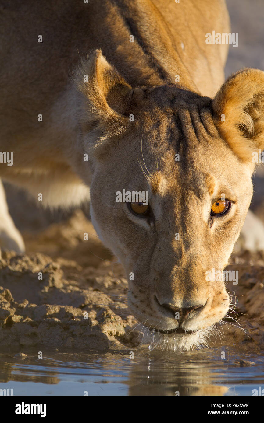 Lioness drinking water from a pond Etosha - Stock Image